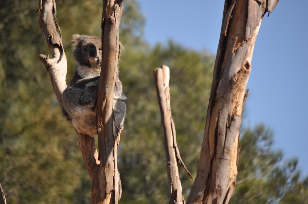 Australian Wildlife, Phillip Island, Australia